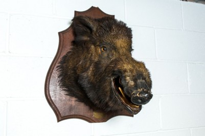 taxidermy boar head
